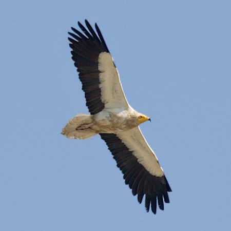 An adult eygptian vulture soaring on thermals which you can see from our Bed and Breakfast Spanish Pyrenees