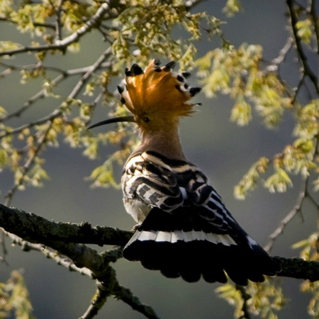 Hoopoe in our garden at Bed and Breakfast Spanish Pyrenees