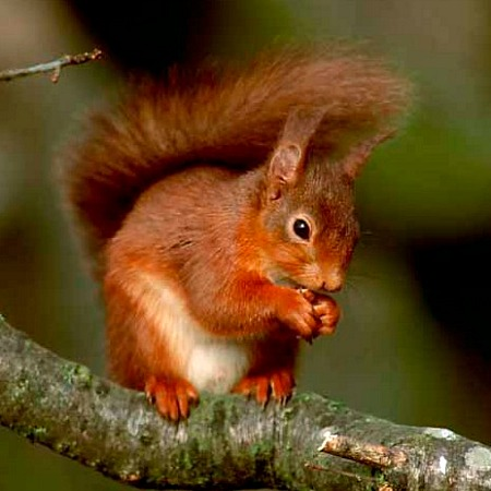 Close up of a red squirrel on a branch which you can see from our Bed and Breakfast Spanish Pyrenees