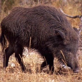 Wild boar in the garden at Casa Allue on Bed and Breakfast Spanish Pyrenees