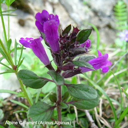 Close up of alpine calamint on wildlife walking holidays spain
