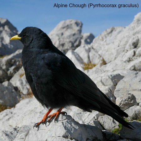 Alpine chough on rocks on wildlife walking holidays spain