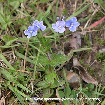 Birds eye speedwell flower on wildlife walking holidays spain