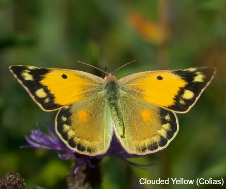 Close up of a clouded yellow butterfly on wildlife walking holidays spain