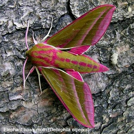Elephant hawk moth on wildlife walking holidays spain