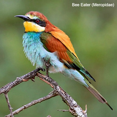 European bee eater sitting on a branch on wildlife walking holidays spain