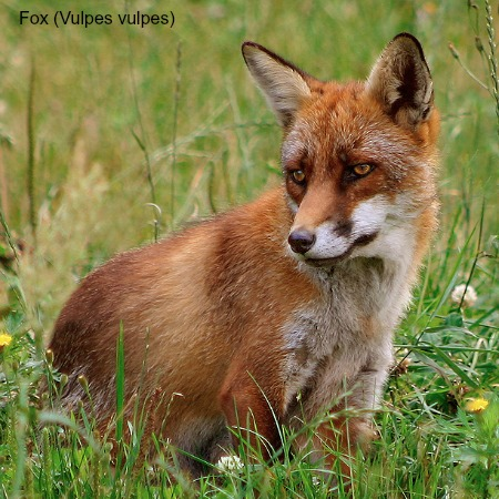 Photo of a fox on Wildlife Walking Holidays Spain
