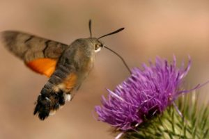 Hummingbird-Hawkmoth on Wildlife Walking Holidays Spain