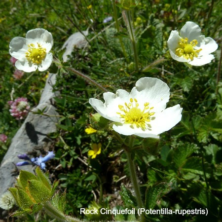 Close up of rock cinquefoil on wildlife walking holidays spain