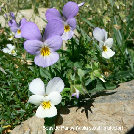 Seaside pansy on wildlife walking holidays spain