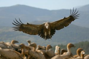 Griifon vultures feeding on Wildlife Walking Holidays Spain