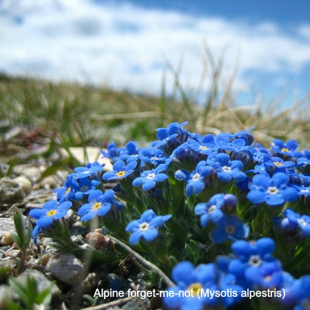 Close up of alpine foget me not on wildlife walking holidays spain