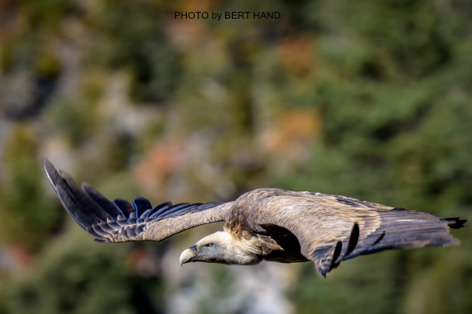 Griffon Vulture by Bert Hand on Nature Photography Holidays Pyrenees