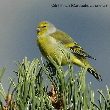 A citril finch in a pine tree on wildlife walking holidays spain