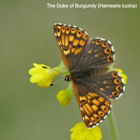 Duke of burgundy butterfly on a cowslip on wildlife walking holidays spain