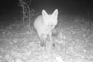 A camera trap photo of a fox on Wildlife Walking Holidays Spain