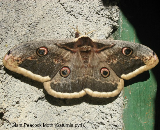 Close up of a giant peacock moth on wildlife walking holidays spain