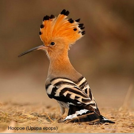 A hoopoe on the ground on wildlife walking holidays spain