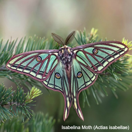 Isabelina moth on a pine tree on wildlife walking holidays spain