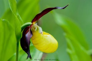 Close up of the ladyslipper orchid by iñaki Relanzón on nature photography holidays spain