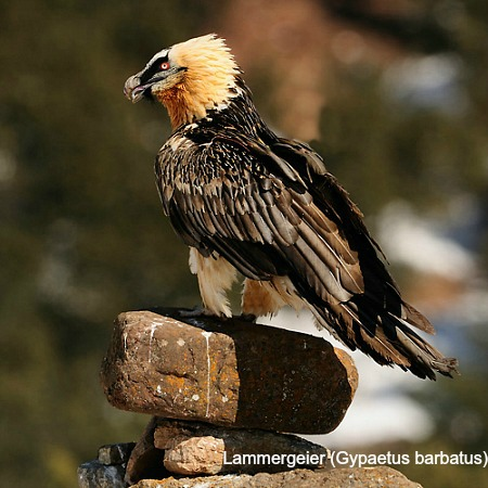 A lammergeier sitting on a rock on wildlife walking holidays spain