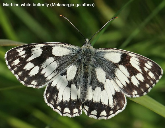 Marbled white butterfly in close up on wildlife walking holidays spain
