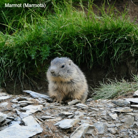 A marmot at the entrance to the burrow on wildlife walking holidays spain