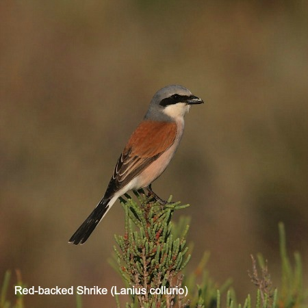 Red backed shrike sitting on a bush on wildlife walking holidays spain