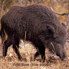 A wild boar foraging on wildlife walking holidays spain
