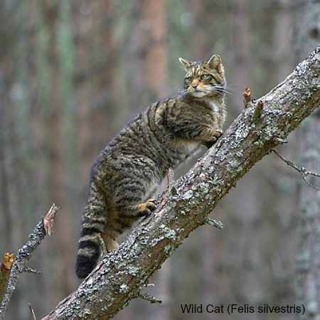 A wildcat climbing a tree on wildlife walking holidays spain