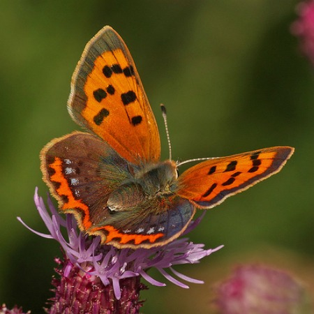 Close up of a small copper butterfly on wildlife holidays spain