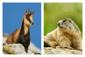 A collage showing a chamois and marmot on our wildlife walking holidays spain