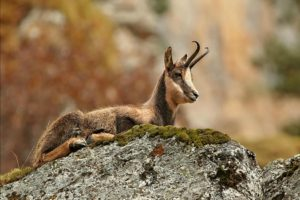 Chamois photo by Ignacio Yúfera which we will see on Wildlife Walking Holidays Spain