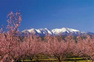 Almond trees in blossom with snow capped mountains behind on Guided Walking Holidays Pyrenees