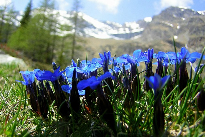 Photo of Blue Gentians on Self Guided Walking Holidays Pyrenees