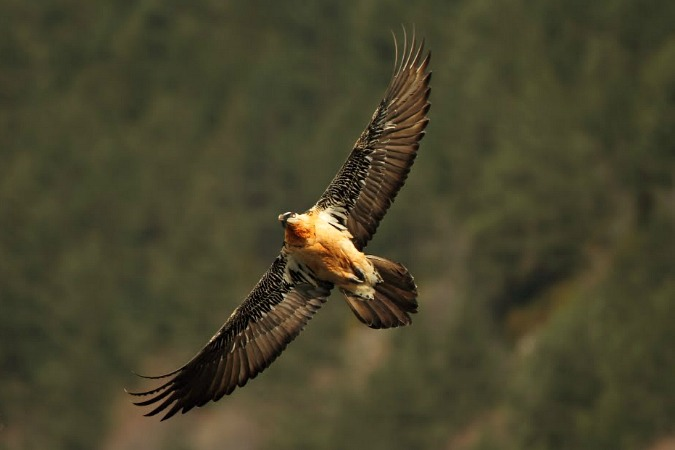 A Lammergeier in flight on Self Guided Walking Holidays Pyrenees