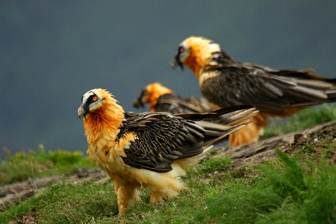Three Lammergeiers (Bearded Vultures) on Special Interest Holidays Spain