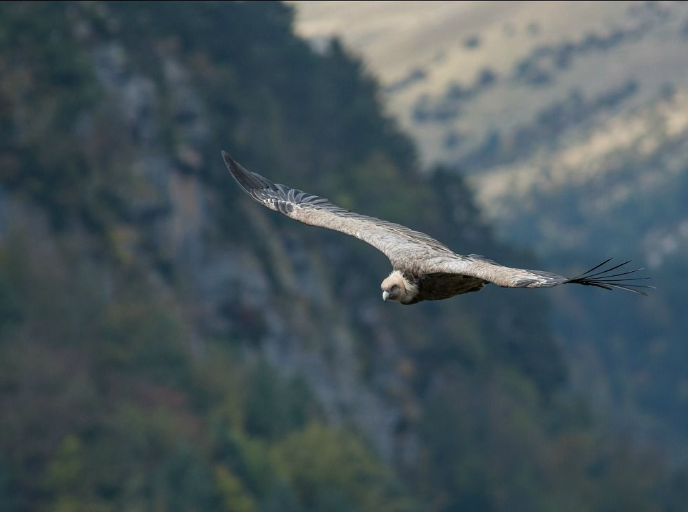 A photo of a Griffon vulture in flight in the Pyrenees taken on the Photography Holiday Spain with Aragon Active