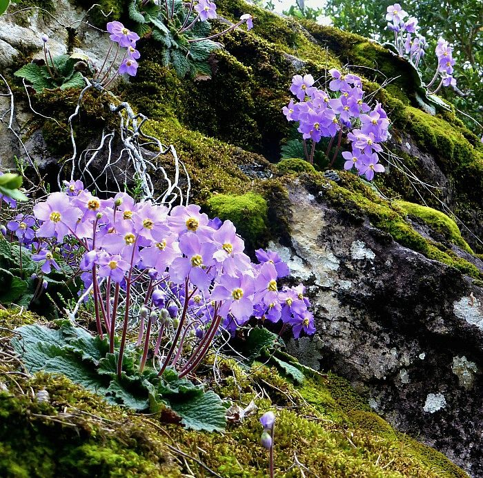 A bank of Pyrenean Violets (Ramonda myconi) in the Ordesa National Park on the Aragon Active Natural History Holiday