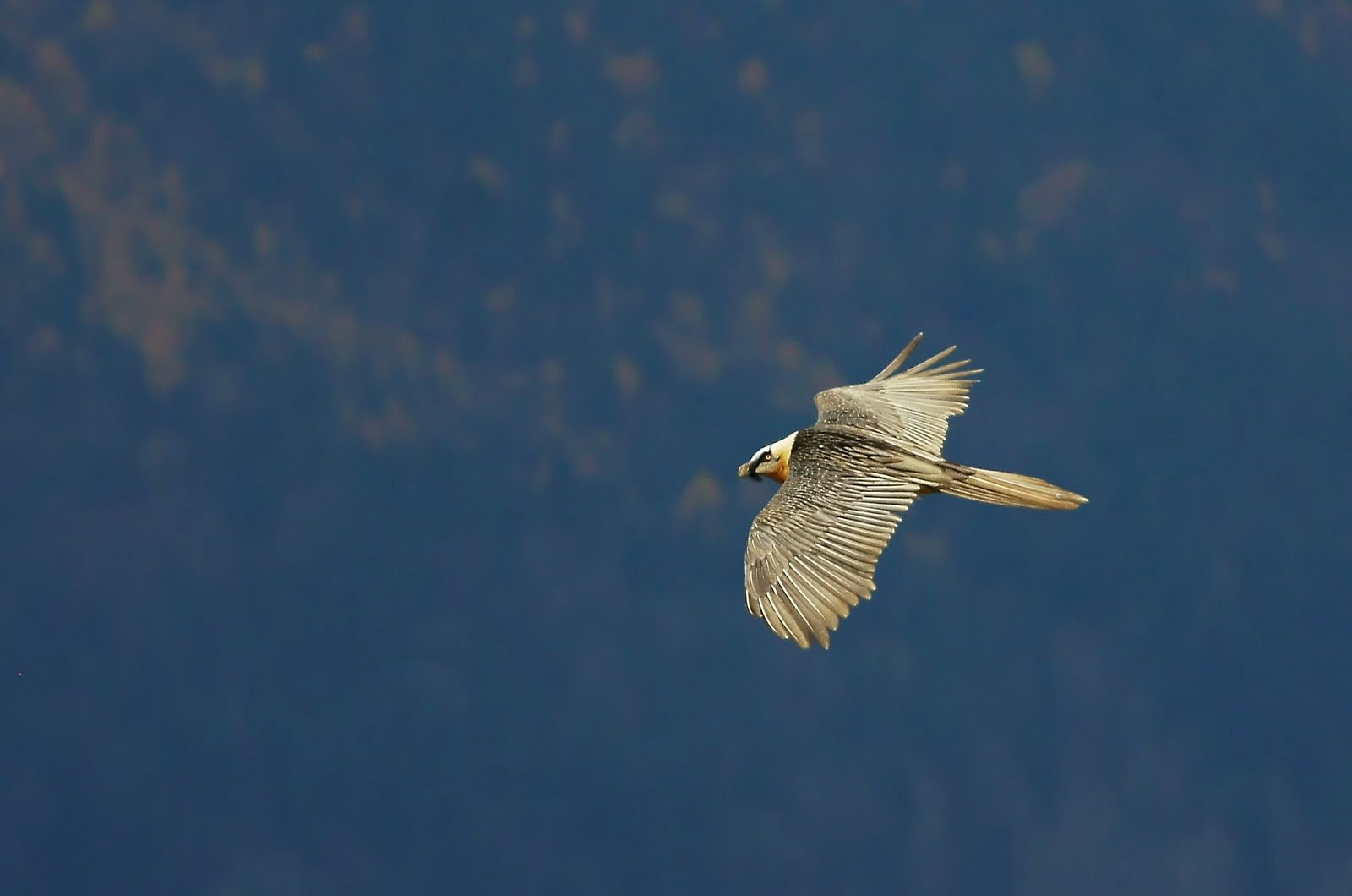 A lammergeir in flight on Aragon Active Self Guided Walking Holiday Spain