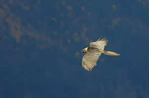 A lammergeir in flight on the Aragon Active Natural History Holiday