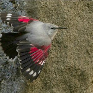 Picture of a wallcreeper on our trip birds of Northern Spain
