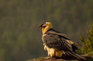 An magnificent adult Bearded vulture sits on the edge waiting for a thermal, his red rimmed eye clearly visible. Photo taken on our Photography Holiday Spain