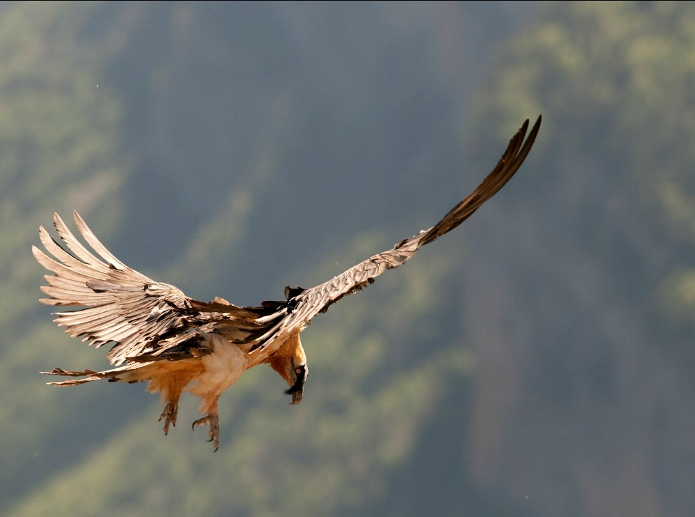 A close viewnof a bearded vulture as it spots a bone below on our Wildlife Walking Holidays Spain