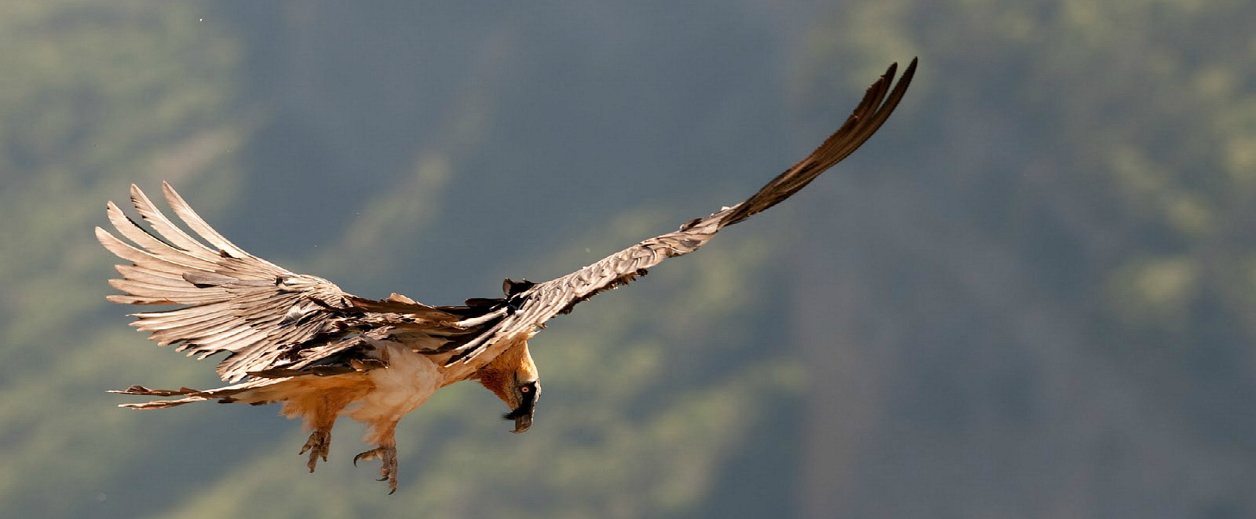 A bearded vulture soars on a thermal in the the Spanish Pyrenees on our Wildlife Walking Holidays Spain