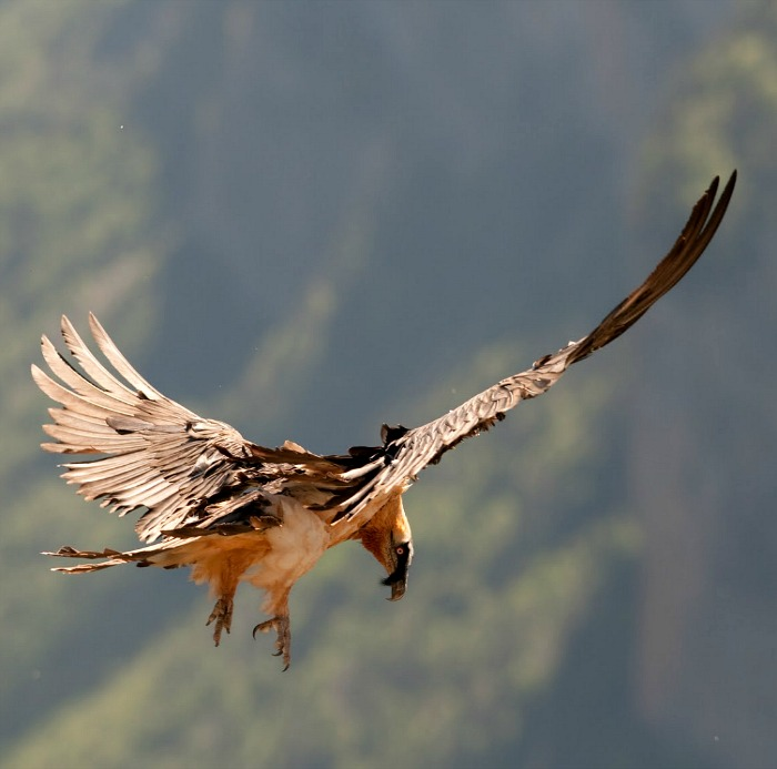 A bearded vulture starts to drop from the air for food on our Wildlife Walking Holidays Spain