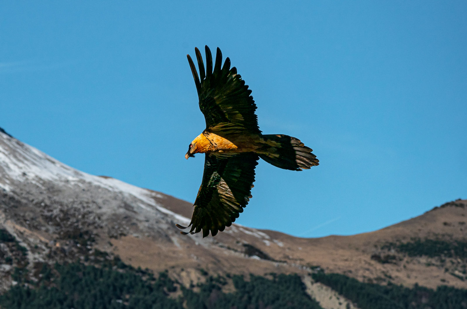 An adult beared vulture (Gypaetus barbatus) soars above us on our Wildlife Walking Holidays Spain