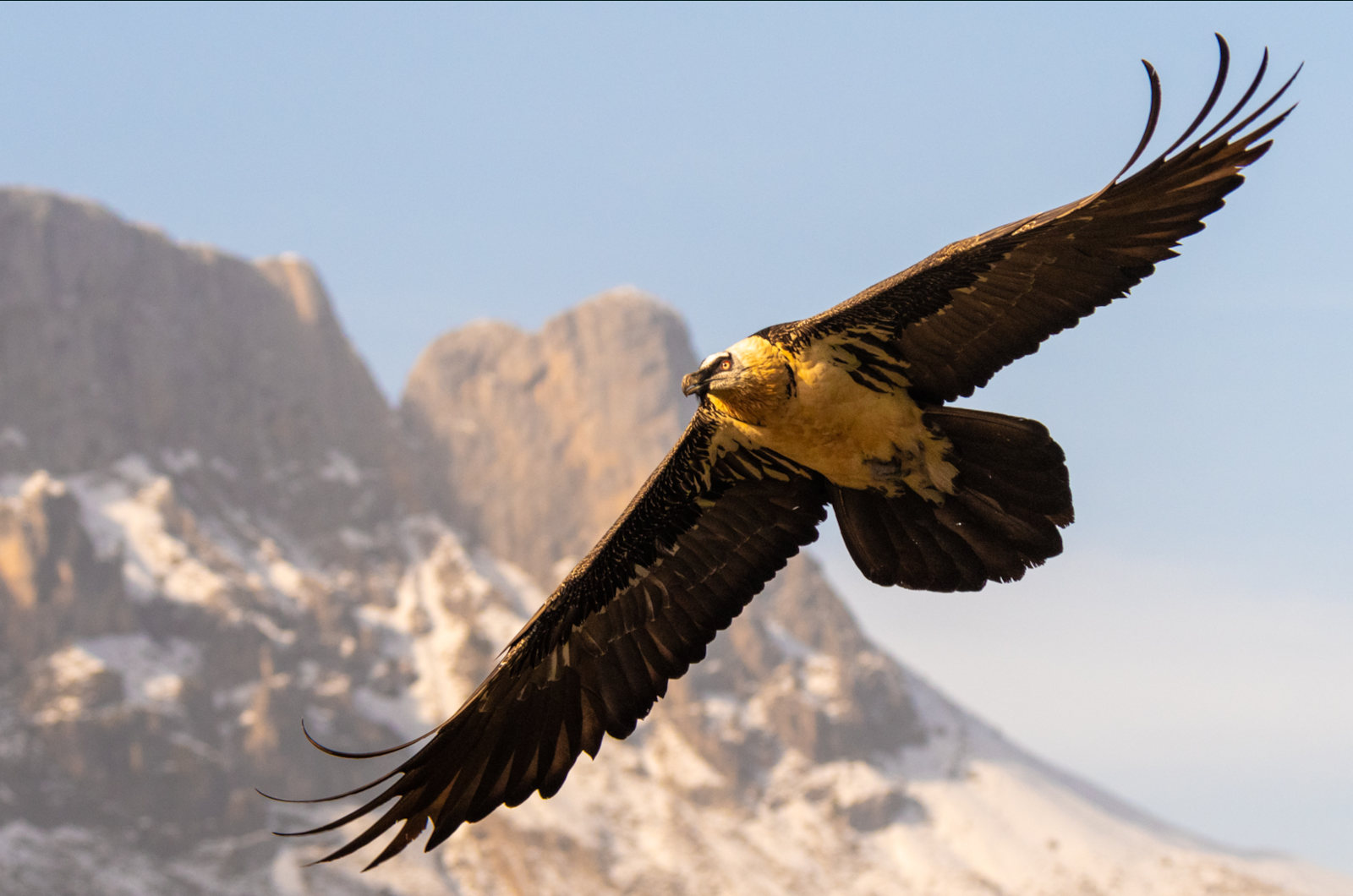 A bearded vulture fills the frame with tendrel feathers curled. Photo taken on our Photography Holiday Spain