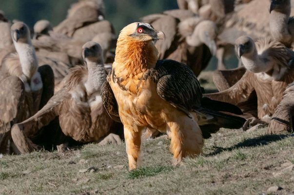An adult bearded vulture on the ground in front of the hides with the red ring around the eye clearly visible on our Birds of Northern Spain trip in the Spanish Pyrenees
