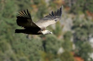 A griffon vulture soars past us at a vewing balcony in the Spanish Pyrenees on our Cultural Holiday Spain